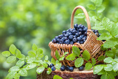 Basket with blueberries on stump in forest Royalty Free Stock Photos
