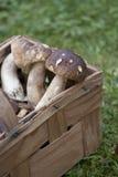 Basket with boletus. Edible mushrooms Royalty Free Stock Images