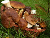 Basket with boletus edulis Royalty Free Stock Photo