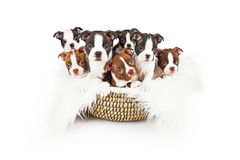 Basket of Boston Terrier Puppies Royalty Free Stock Photo