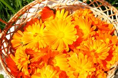 Basket with bright orange marigolds. A basket with fresh bright sunny orange marigolds or calendula on a green grass, closeup Stock Photo
