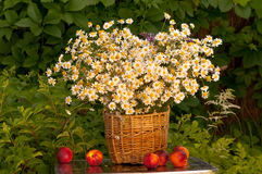 Basket of camomiles Royalty Free Stock Photography