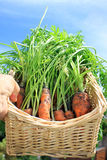 Basket of Carrots Stock Photography