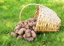 Basket of cedar cones Stock Image