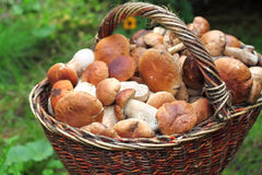 Basket with ceps Stock Image