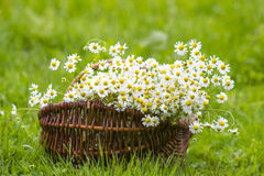 Basket with chamomile flowers Stock Photography