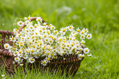 Basket with chamomile flowers Stock Photos