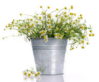 Basket with chamomile Royalty Free Stock Photography