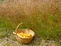 Basket with chanterelles. On the meadow side Stock Photography