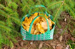 Basket of chanterelles. Royalty Free Stock Photos