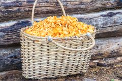 Basket of chanterelles on log background Stock Image