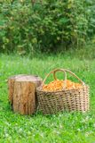 Basket with chanterelles and log Royalty Free Stock Photography
