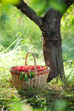Basket of cherries. Basket of red cherries under the tree in sunlight Stock Photos