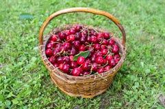 Basket of Cherries Stock Photography