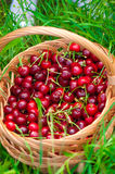 Basket of cherries on a  grass Stock Images
