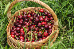 Basket of cherries. On a green grass Stock Photography