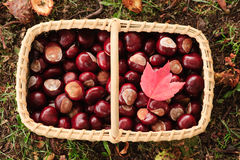 Basket with chesnuts and a red maple leaf. Looking down on basket of nuts Stock Images