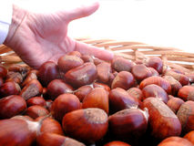 A basket of chestnuts with one hand Stock Images