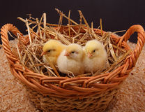 Basket of Chicken Stock Photography