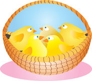 Basket of chicks. A wicker basket full of cute yellow fluffy chicks Stock Photos