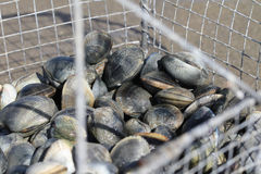 Basket of clams Royalty Free Stock Image