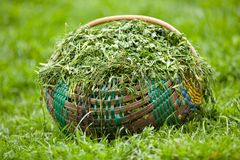 Basket with clover Royalty Free Stock Photography