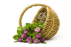 Basket with clover Royalty Free Stock Image