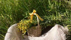 Basket with the collected grass St. John`s wort in the field on the burlap. Harvesting of medicinal plants in summer. Basket with the collected grass St. John`s stock video