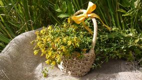 Basket with the collected grass St. John`s wort in the field on the burlap. Harvesting of medicinal plants in summer stock video