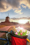 Basket of colorful tulips against Dutch windmills in Zaanse Schans, Amsterdam, Holland Royalty Free Stock Photo