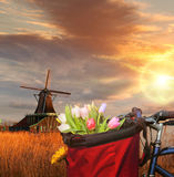 Basket of colorful tulips against Dutch windmills in Zaanse Schans, Amsterdam, Holland Royalty Free Stock Image