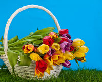 Basket with colorful tulips. Royalty Free Stock Images
