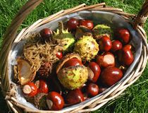 Basket of conkers (horse chestnuts) Stock Photos