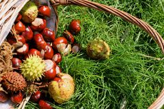 Basket of conkers (horse chestnuts) Stock Images