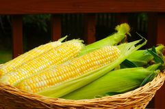 Basket of corn Royalty Free Stock Image