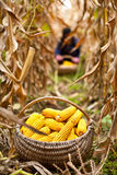 Basket with corn in the field. Basket with corn at the harvest, a person is working in the blurred background Stock Images
