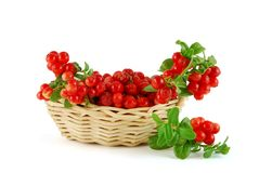 Basket of the cowberries. On the white background stock photography