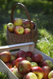 Basket And Crate Of Apples On Grass Stock Photo