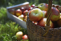 Basket And Crate Of Apples On Grass Stock Photography