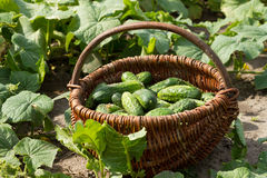 Basket with cucumbers. Basket with a fresh cucumbers Stock Photography