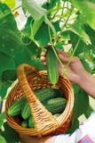 Basket with cucumbers, in the hands of a farmer background of nature stock photos