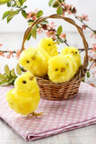 Basket of cute easter chickens Royalty Free Stock Images