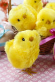 Basket of cute easter chickens Stock Photo