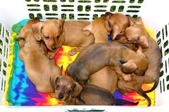 Basket of Dachshund Pups Royalty Free Stock Photos