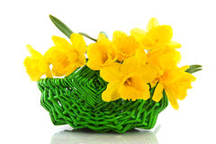 Basket with daffodils Royalty Free Stock Image