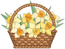 Basket with daffodils. Woven basket with some daffodils isolated on white background Stock Photo