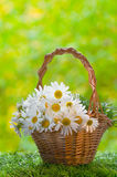 Basket with daisies. On a grass Royalty Free Stock Images