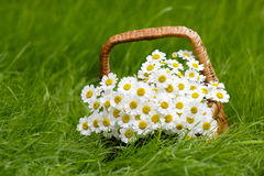 Basket with daisies Royalty Free Stock Image