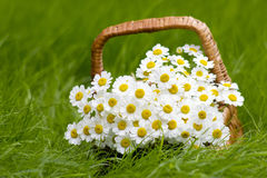 Basket with daisies Stock Image