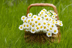 Basket with daisies. On grass Stock Photography